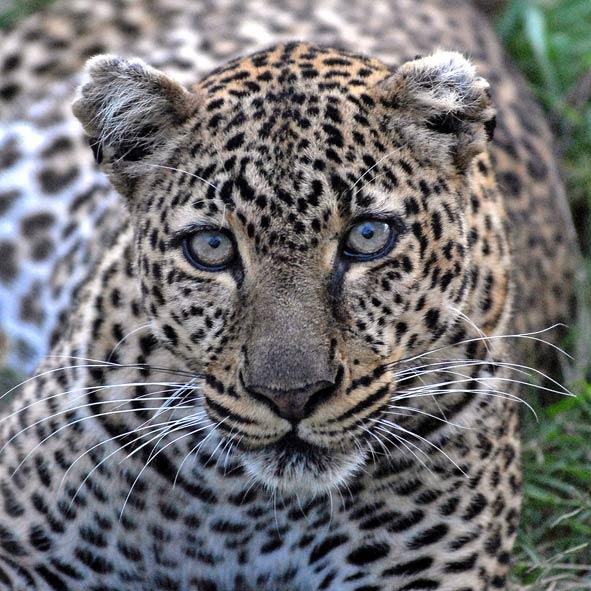 Cheeta_MaasaiMara_ madmenmag safari