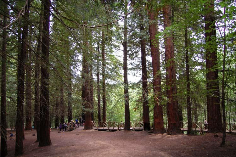 bosque-de-secuoyas-cabezon-de-la-sal